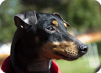 Manchester Terrier Dog for Sale in Myersville, Maryland - Georgie