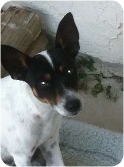 Rat Terrier Dog for Sale in Homestead, Florida - Spot
