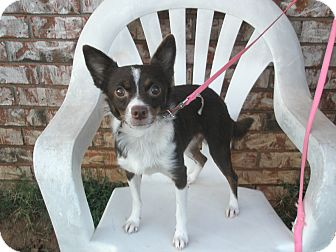 "Rat Terrier/Terrier (Unknown Type, Small) Mix Dog for adption in McLoud, Oklahoma - DANIELLE ""DANI"""