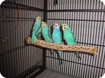Budgie for adoption in St. Louis, Missouri - Budgies