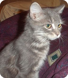 Domestic Shorthair Kitten for adoption in Porter, Texas - Molly