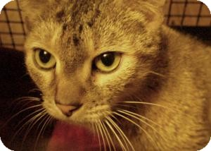 Domestic Shorthair Cat for adoption in New Bedford, Massachusetts - Puppy