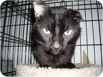 Domestic Shorthair Cat for adoption in South Elgin, Illinois - Newbie