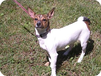 Fox Terrier (Smooth) Mix Dog for Sale in New Castle, Pennsylvania -