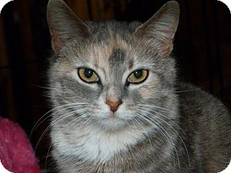Calico Cat for Sale in Stafford, Virginia - Violet