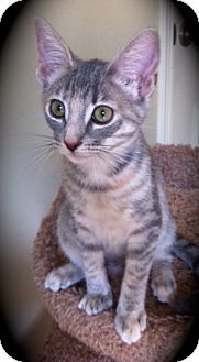 Domestic Shorthair Kitten for Sale in Brea, California - Chloe Jr.
