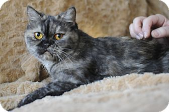 Exotic Cat for Sale in Columbus, Ohio - Miss Mandy