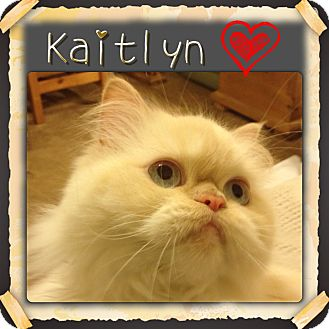Himalayan Cat for Sale in Beverly Hills, California - Kaitlyn
