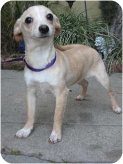Jack Russell Terrier/Chihuahua Mix Dog for adption in Van Nuys, California - Jasmine