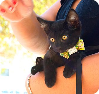 Domestic Shorthair Kitten for Sale in santa monica, California - Brinkley