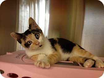 Calico Kitten for Sale in Secaucus, New Jersey - Angie