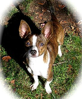 Chihuahua Dog for Sale in El Cajon, California - Minnie