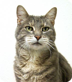 Domestic Shorthair Cat for adoption in Colorado Springs, Colorado - Smokey