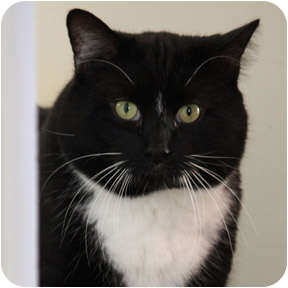Domestic Shorthair Cat for adoption in Verdun, Quebec - Watson