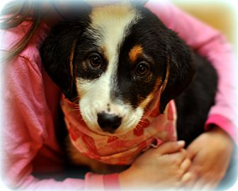 Labrador Retriever/Border Collie Mix Puppy for Sale in Sparta, New Jersey - Stella