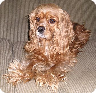Cocker Spaniel Dog for adption in Spanaway, Washington - JOEY2
