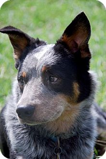 Australian Cattle Dog/Australian Cattle Dog Mix Dog for Sale in Carey, Ohio - MADDOX