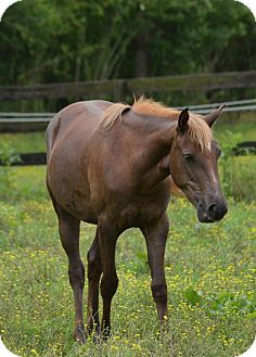 Appendix/Quarterhorse Mix for adoption in Waleska, Georgia - Giggles
