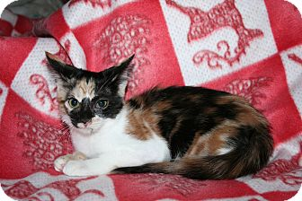 Domestic Shorthair Kitten for Sale in SantaRosa, California - Cabernet