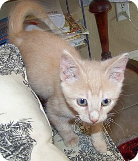 Domestic Shorthair Kitten for Sale in Bentonville, Arkansas - Tapioca