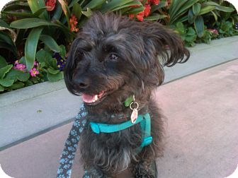 Terrier (Unknown Type, Small) Mix Dog for adption in Thousand Oaks, California - Yogi