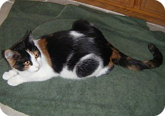 Calico Cat for Sale in Bentonville, Arkansas - Lucy