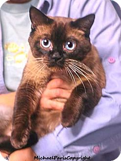 Tonkinese Cat for Sale in Vacaville, California - Christopher