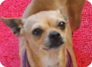 Chihuahua Mix Dog for Sale in San Diego, California - Chatty Cathy