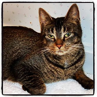 Domestic Shorthair Cat for Sale in Great Mills, Maryland - Lady Godiva