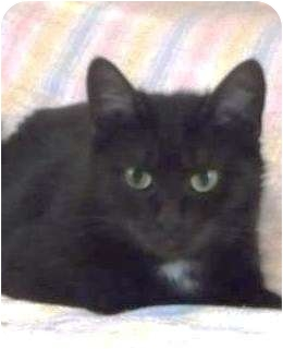 Domestic Shorthair Cat for adoption in Ottawa, Ontario - Bella