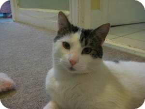 Domestic Shorthair Cat for adoption in Belleville, New Jersey - Giuesppe