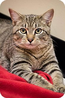 Domestic Shorthair Cat for Sale in Chicago, Illinois - Teddy Taffy