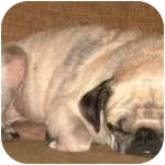 Pug Dog for adption in Windermere, Florida - Tibbie