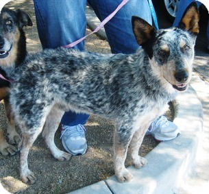 Australian Cattle Dog Dog for Sale in Gilbert, Arizona - Sergio - Adoption Pending