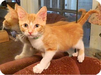 Domestic Shorthair Cat for adoption in The Colony, Texas - Adon