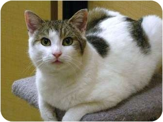 Domestic Shorthair Cat for adoption in Richmond Hill, Ontario - Cinder