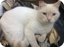 Siamese Cat for Sale in Modesto, California - Flash