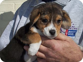 Beagle Mix Puppy for Sale in Germantown, Maryland - Bee-Bee
