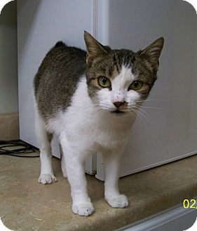 American Bobtail Cat for adoption in Dover, Ohio - Matilda