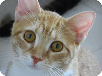 Domestic Shorthair Cat for adoption in Elizabeth City, North Carolina - Wasabi