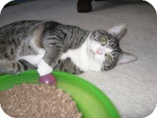 Domestic Shorthair Cat for Sale in Arlington, Virginia - Lizzy