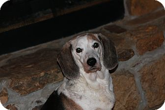 Beagle Dog for adption in Russellville, Kentucky - Sabrina
