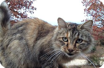 Maine Coon Cat for Sale in Bentonville, Arkansas - Nala
