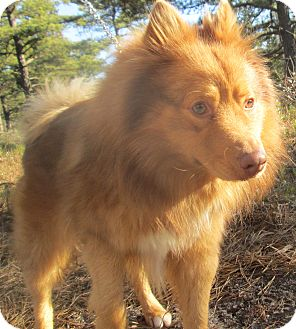 Spitz (Unknown Type, Medium) Mix Dog for Sale in Forked River, New Jersey - Ryder