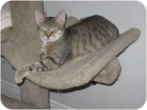 Domestic Shorthair Cat for Sale in Ft. Lauderdale, Florida - Jeff