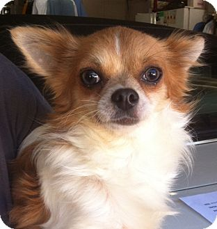 Chihuahua Dog for Sale in Studio City, California - Trixter