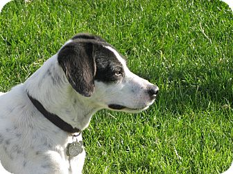 Pointer/Jack Russell Terrier Mix Dog for Sale in Scottsdale, Arizona - TINA
