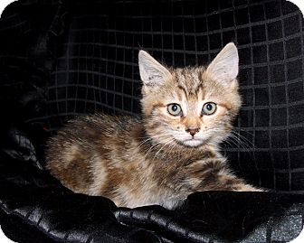 Calico Kitten for adoption in Van Nuys, California - Juliet