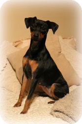 Miniature Pinscher Dog for Sale in Sinking Spring, Pennsylvania - Stella
