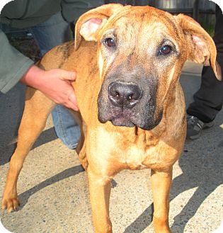 Bloodhound Boxer